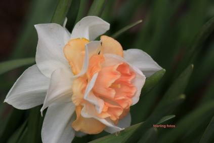 daffodil_1381 fd
