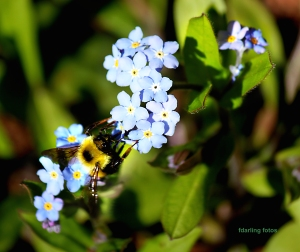 Bee_forget-me-nots+ fd